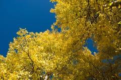 Aspen tree and blue sky Royalty Free Stock Image