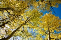 Aspen tree and blue sky Stock Photography