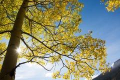 Aspen tree and blue sky Royalty Free Stock Photos