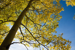 Aspen tree and blue sky Stock Images