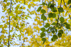 Aspen tree branch with green leaves on a background of yellow leaves Stock Photo