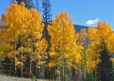 Aspen Tree Brilliance Stock Foto's
