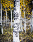 Aspen Tree with Carvings. A lone Aspen tree in a forest of Aspen trees with carvings made by people on the bark and trunk of the tree in fall Royalty Free Stock Photo
