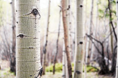 Aspen Tree in Colorado Forest Stock Images