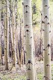 Aspen Tree in Colorado Forest. Detail shot of a single aspen tree bark in a forest of aspens in Colorado Royalty Free Stock Image