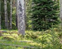 Aspen Tree com o Sun que incandesce na grama luxúria em Rocky Mountain National Park imagens de stock
