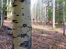 Aspen tree with dancing woman carved into bark. Aspen tree with a dancing woman carved into the trunk deep in an aspen grove in the forest of Colorado.  This is Stock Photo