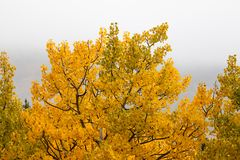 Aspen Tree en caída Foto de archivo libre de regalías