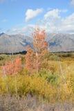 Aspen Tree en Teton magnífico NP Imagenes de archivo