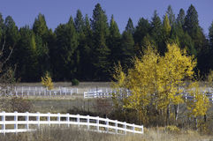 Aspen tree at end of fence. Stock Image