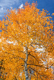Aspen Tree in Fall Stock Images