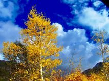 Aspen Tree in Fall Color. Lone aspen tree in beautiful gold fall color with blue sky and clouds in the background Stock Photos