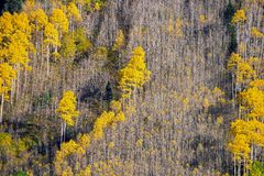Aspen Tree Foliage imagem de stock royalty free