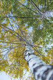 Aspen tree foliage in autumn Stock Images