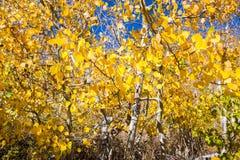 Aspen tree foliage on a sunny fall day. Eastern Sierra mountains, California stock photos