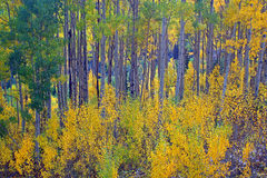 Aspen Tree Forest in Utah. Aspen Tree Forest with Fall Colors in Little Cottonwood Canyon Utah Royalty Free Stock Photography