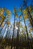 Aspen tree going golden yellow on a sunny fall day Royalty Free Stock Images