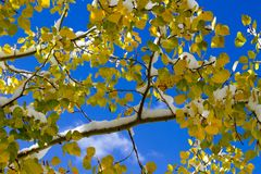 Aspen Tree With Golden Leaves and Fresh Snow by Million Dollar H. Ighway, Colorado stock images