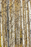Aspen Tree Grove Stock Image