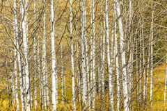 Aspen Tree Grove Royalty Free Stock Photography