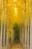 Aspen Tree Grove Yellow Fall Seasonal Autumn Color Royalty Free Stock Photos
