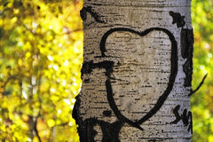 Aspen Tree Heart Royalty Free Stock Photo