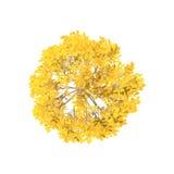 Aspen Tree Isolato su priorità bassa bianca Vista superiore Immagine Stock Libera da Diritti