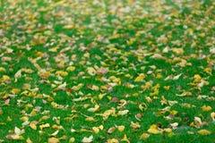 Aspen tree leaves on green grass in autumn season. Low side view Stock Photo