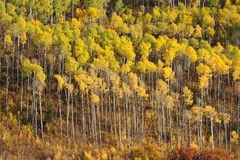 Aspen tree pattern Stock Photos
