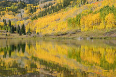 Aspen tree with reflection. Yellow aspen tree with their reflection over a lake in colorado Royalty Free Stock Photos