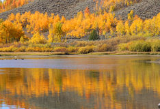 Aspen tree reflections Stock Images