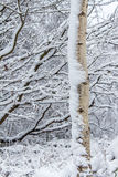 Aspen Tree In The Snow bianco immagini stock libere da diritti