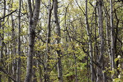 Aspen tree stand in the forest Royalty Free Stock Images