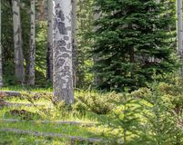 Aspen Tree with Sun Glowing onto Lush Grass in Rocky Mountain National Park. Beautiful glowing grass in the morning at Rocky Mountain National Park. Perfect shot stock images