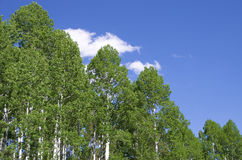 Aspen tree tops. Horizontal image of aspen tree tops in the spring with blue sky and white clouds Stock Photos