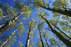 Aspen tree tops. View up in aspen (Populus tremuloides) grove in the spring with fresh green leaves in the tree tops Royalty Free Stock Photo