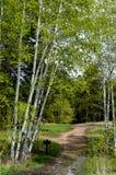 Aspen Tree Trail Fotografia Stock Libera da Diritti