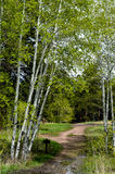 Aspen Tree Trail Royalty Free Stock Photo