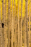 Aspen Tree Trunk Forest Royalty Free Stock Photo