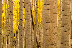 Aspen Tree Trunk Forest Royalty Free Stock Photos