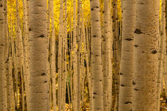 Aspen Tree Trunk Forest Stock Image