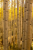 Aspen Tree Trunk Forest Royalty Free Stock Image