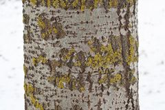 Aspen tree trunk with gray bark with some yellow-greenish lichen Royalty Free Stock Image