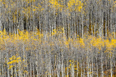 Aspen Tree Trunk Pattern Royalty Free Stock Images