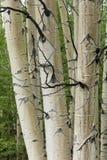 Aspen tree trunks closeup stock images