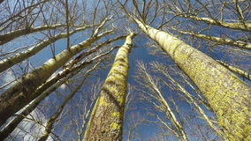 Aspen tree trunks in spring forest and clouds, time lapse 4K stock video footage
