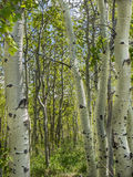 Aspen tree trunks in spring Royalty Free Stock Photo