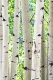 Aspen Tree Trunks - White Bark Forest Stock Photography