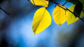 Aspen tree twig on blue sky background Stock Images