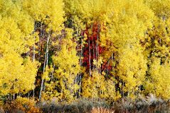 Aspen Tree White Trunk Birch Forest Golden Leaves Wilderness. Aspen tree with white trunk birch forest and golden leave in the wilderness stock photo